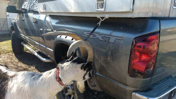 pack goat tether