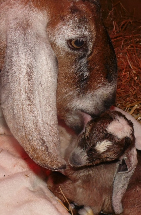 How to Treat Sick Baby Goats