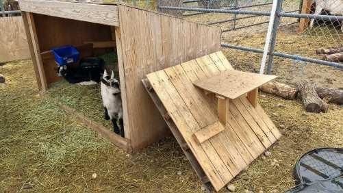 baby goat toys
