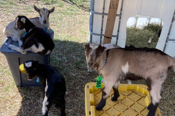 Cheap Baby Goat Shelter