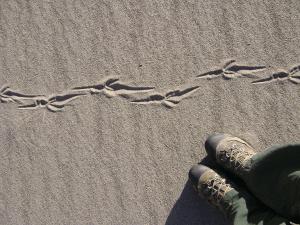 Roadrunner tracks on top of dunes