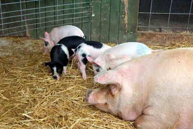 Cox Farms Piglets