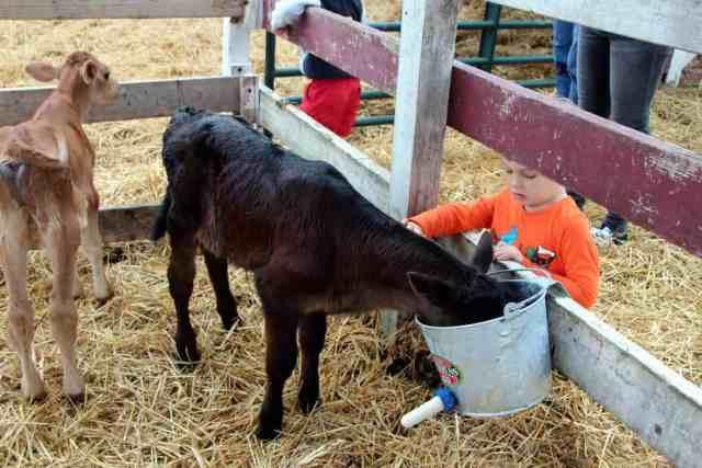 Cox Farms calves