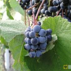 Wrzesień | Wino z Paczkowa | Ruszyła sprzedaż wina z Paczkowa wytwarzanego przez winnicę Poraj należącą do Marcina Biernackiego.