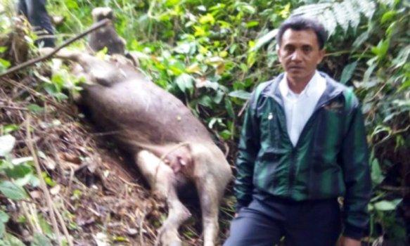 Kerbau milik warga yang mati mengenaskan diduga diterkam harimau di Jorong Marabuang Nagari Baringin, Palembayan Kabupaten Agam, Rabu (22/2). (fajar)