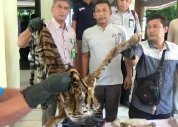 Tim Gabungan BKSDA Sumbar dan BKSDA Jambi memperlihatkan kulit harimau yang berhasil disita.(dio)