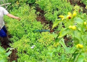 Seorang ibu sedang berada di ladang cabe miliknya. (fajar)