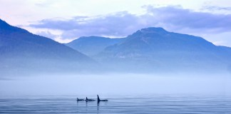 kayaking with orcas