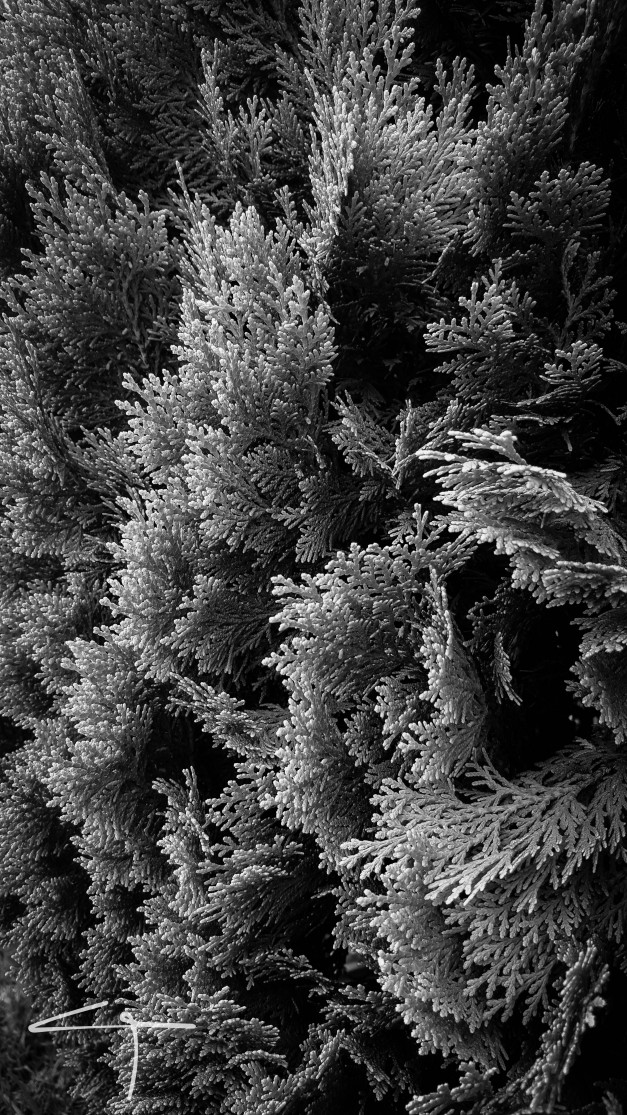Cypress branches black and white photograph no 1