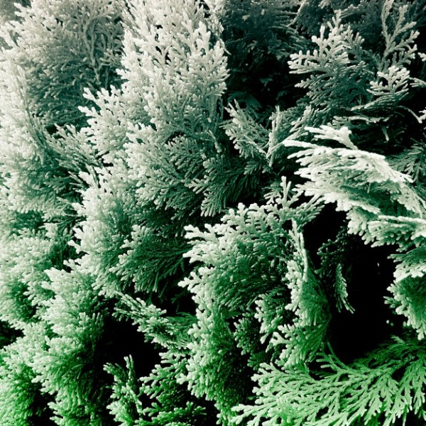 cypress foliage photograph No.5
