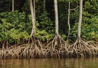 mangroveroots