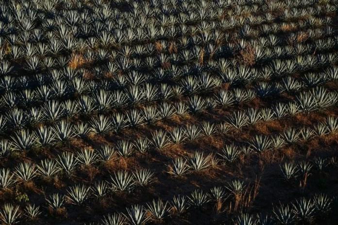 agave azul mexico produccion