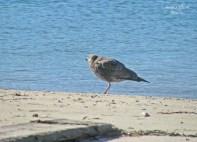 Female or Juvenile Herring Gull?
