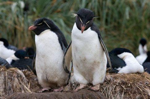 Παντρεμένοι πιγκουίνοι – μακριά και αγαπημένοι