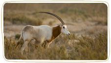 scimitar horned oryx - small 1