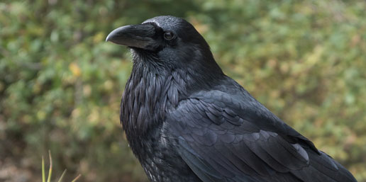 side profile of a raven with trees in the background