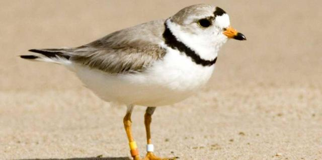 Piping plover on sand