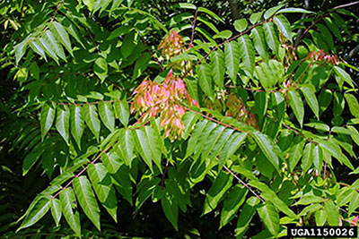 Tree of Heaven foliage with leaves and blooms