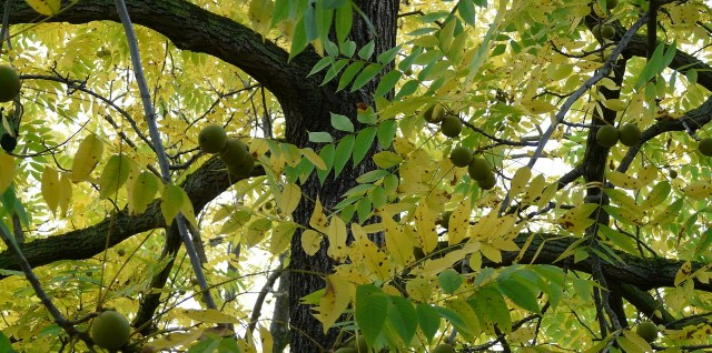 Black Walnut Tree trunk and foliage