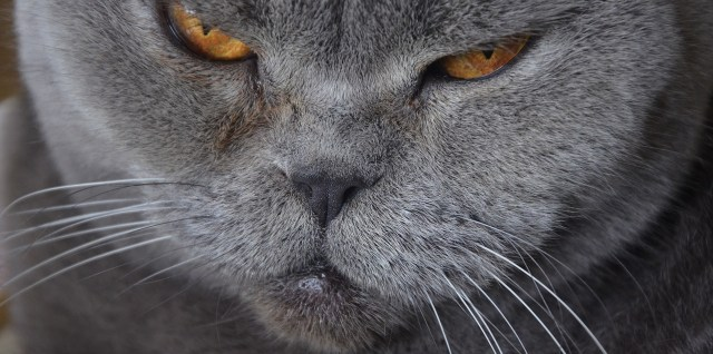 up close of a gray cat with a angry looking grimace