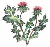 Blessed thistle philippines