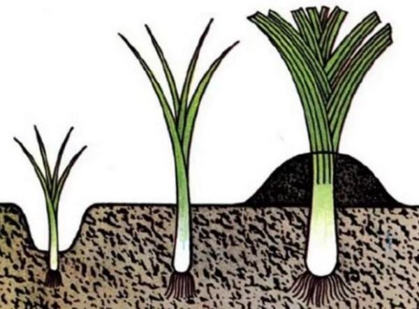 Когда и как садить (сеять) лук семенами на рассаду в 2018 ...
