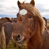 iceland-horses-4