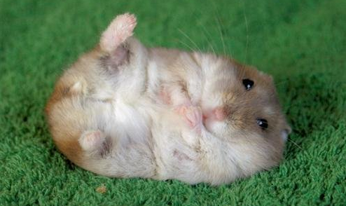 Convincing a dwarf hamster to flop over on its back and point its tiny right foot?  NOT EASY