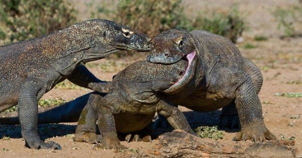 Комодский Дракон: Ешь своих, или съедят тебя (13 фото)
