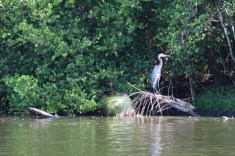 A hansom heron on the New River