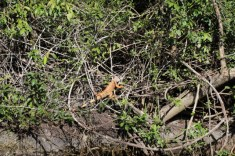 Our guide had sharp eyes when it came to spotting creatures like this yellow iguana