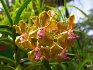 Орхидеи желтого цвета