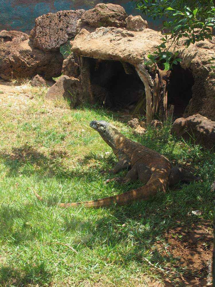 зоопарк гонолулу (honolulu zoo), комодский дракон в траве
