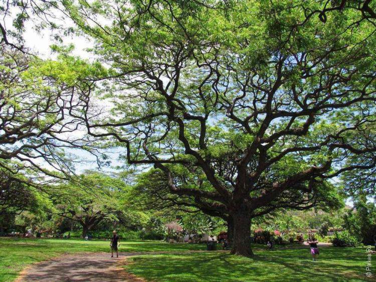 зоопарк гонолулу (honolulu zoo), ветвистое дерево