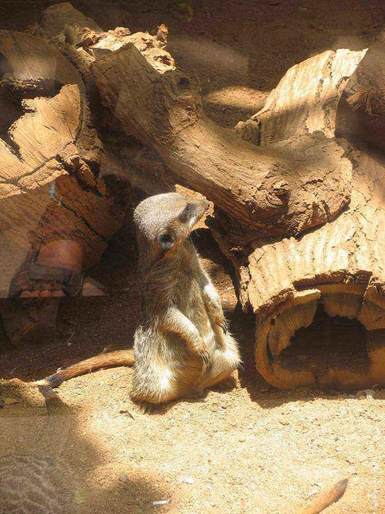 зоопарк гонолулу (honolulu zoo), суррикат
