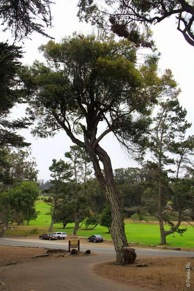 Дерево кипарис и поле для гольфа