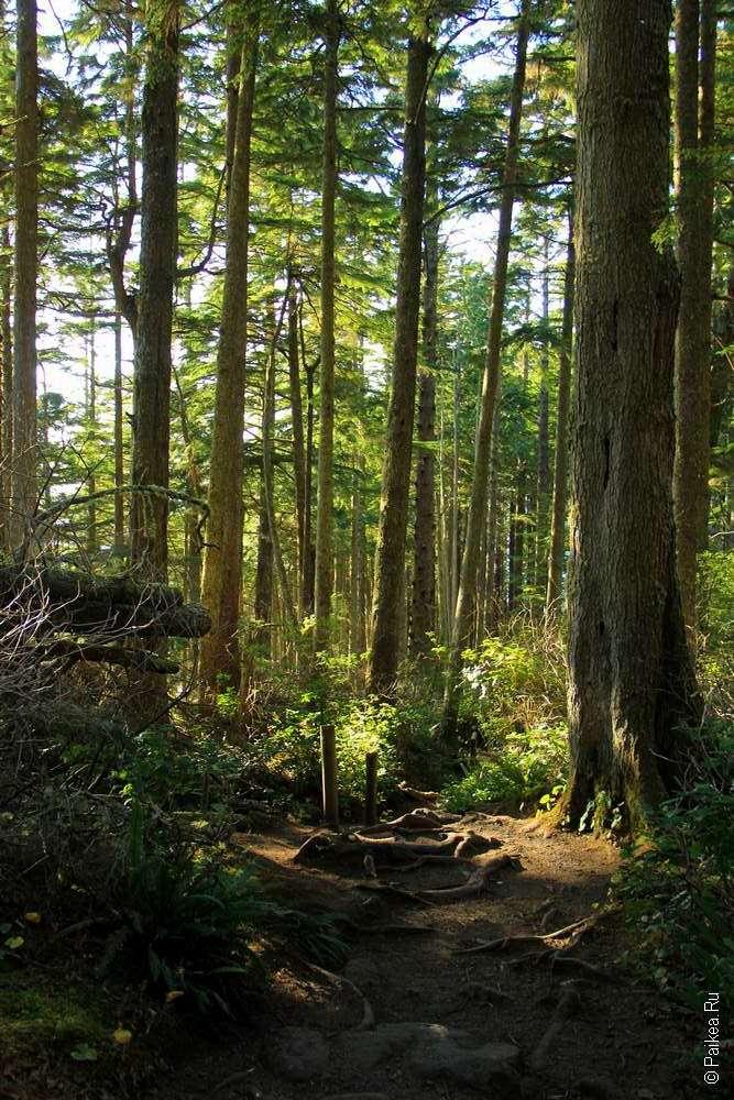 Мыс Флэттери - Деревья на полуострове Олимпик