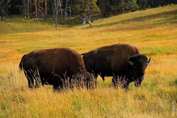 бизоны в парке Йеллоустоун