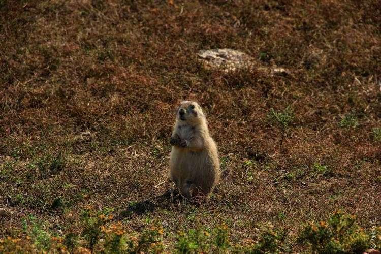Национальный парк Бэдлендс, Южная Дакота, США - Луговая собачка