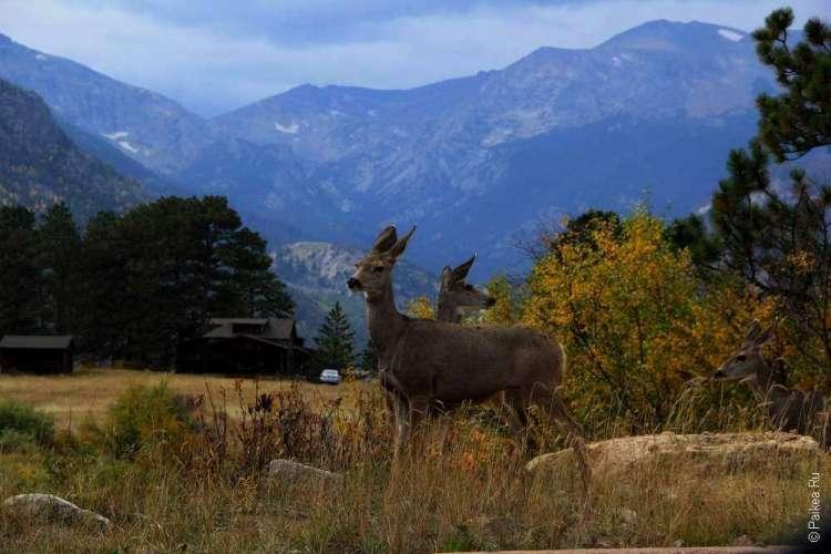 Фото оленей в скалистых горах США