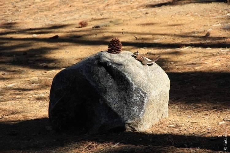 бурундук и шишка на камне в Калифорнии