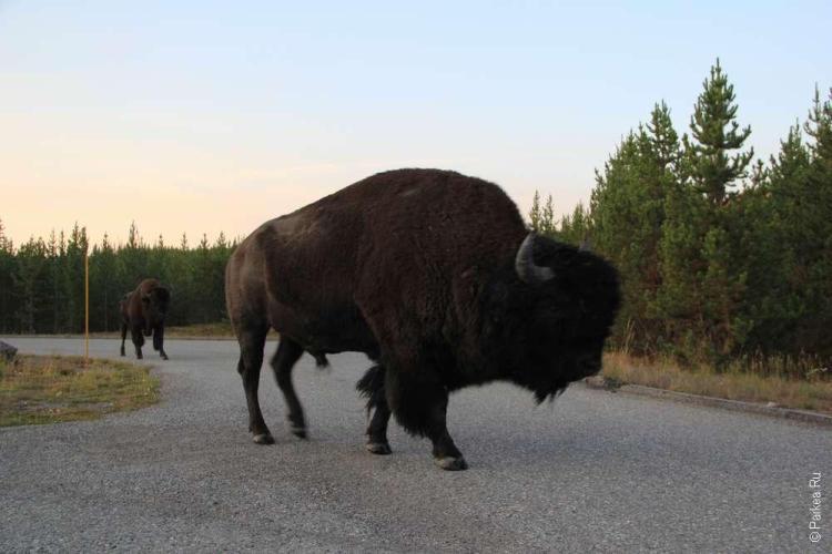 дикий запад сша бизоны