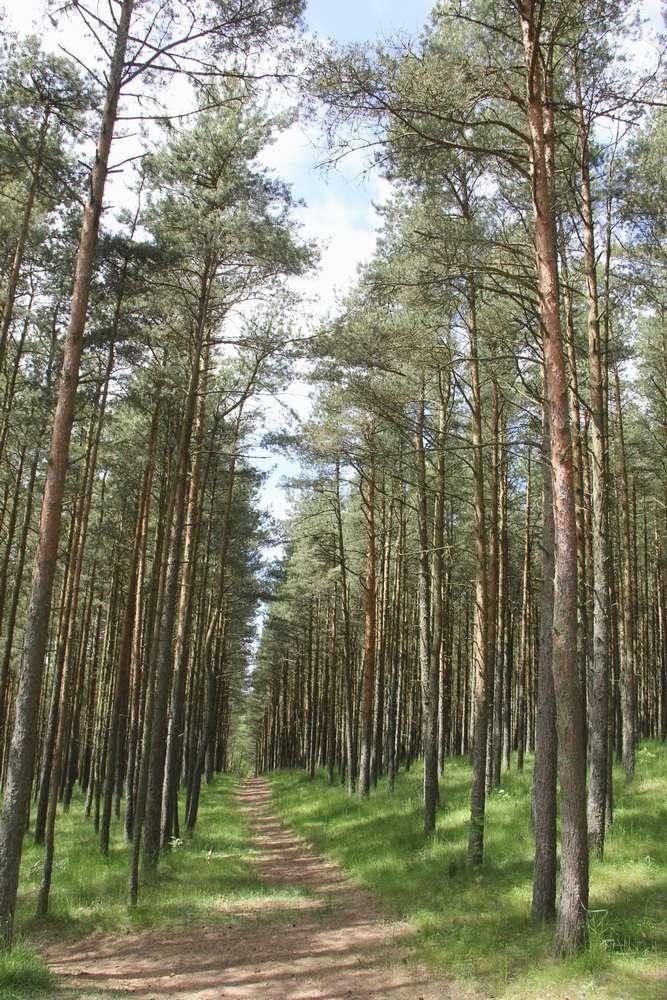 Куршская коса - тропинка в сосновом лесу