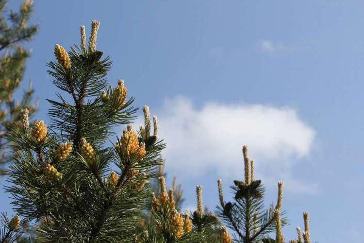 Куршская коса - шишки на дереве