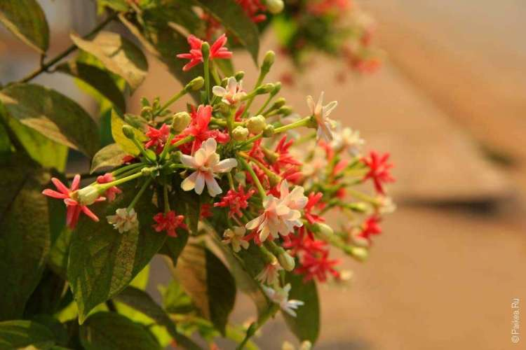 Цветы у храма Ват Луанг в Паксе