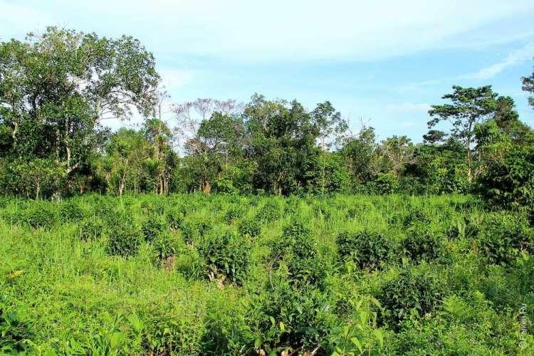 Чайные кусты в Южном Лаосе