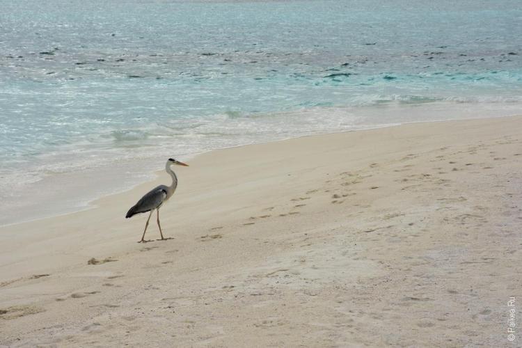 мальдивы птицы