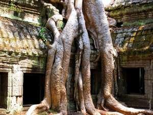 Дерево с большими корнями, Ангкор Камбоджа