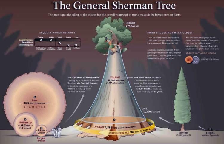 секвойя генерал шерман
