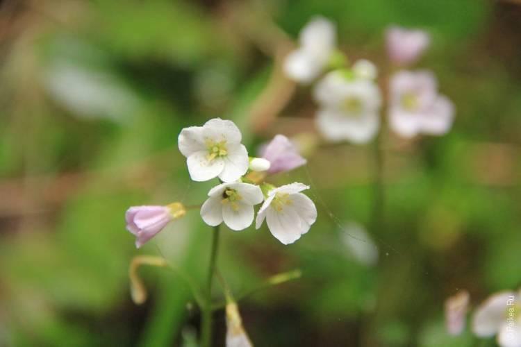 редвуд цветы